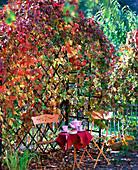 Laube mit Parthenocissus quinquefolia ' Engelmannii ' (Wilder Wein), Holzbank