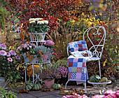 Chrysanthemum (Chrysanthemen), Calluna ' Annette ' (Heide), Calocephalus
