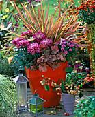 Chrysanthemum (Chrysanthemen), Phormium ' Maori ' (Neuseelandflachs)
