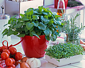 Melissa (lemon balm) in red planter