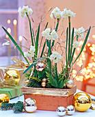 Narcissus tazetta (Tazette), weihnachtlich geschmückt