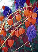 Physalis franchettii (Lampionblume), Aconitum carmichaelii