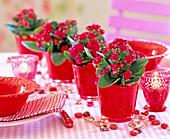 Kalanchoe Calandiva ' Red ' (Gefüllte Flammendes Käthchen) in roten Glastöpfen