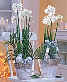 Narcissus ' White Star ' (Tazett - Narzissen), Cupressus arizonica