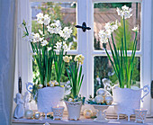 Narcissus ' White Star ', ' Bridal Crown ' (Tazett - Narzissen)