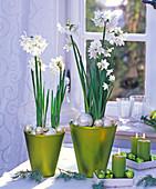 Narcissus ' White Star ' (Tazett - Narzissen) in grün-metallic Töpfen