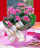Kalanchoe Calandiva ' Cerise Pink ' (gefülltes Flammendes Käthchen)