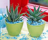 Haworthia attenuata, Aloe aristata (Sukkulenten) in grünen Töpfen