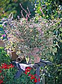 Plectranthus coleoides (Weihrauch), blühend, aufrecht, Pelargonium