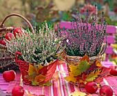 Calluna vulgaris ' Annette ', ' Aphrodite ' (knospenblühende Heide), Malus