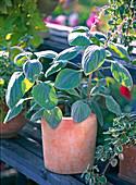 Plectranthus ' Silver Shield ' (Weihrauch) in Terracottatopf