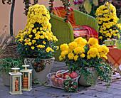 Chrysanthemum Dreamstar, ' Vesta ' (Herbstchrysanthemen), Hedera (Efeu)