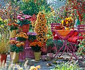 Chrysanthemum ' Palü Bronce ', ' Kalisto ', Yahou ' Luron '