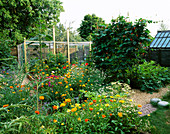 THE POTAGER with MARIGOLDS AND Sweet PEAS IN Rosemary PEARSONS Garden, READING