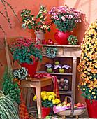 Chysanthemum (Chrysanthemen) Pyramide und Büsche, Malus (Zieräpfel, Äpfel)