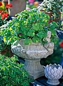 Pelargonium odoratissimum (Duftgeranie) mit Apfelduft in Zementspindel
