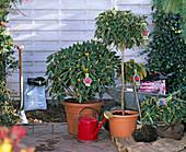 Rhododendron (Alpenrose), Container- und Ballenware
