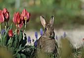 Wildkaninchen am Blumenbeet (von vorne)