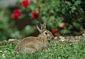 Wildkaninchen im Gras vor Rosenbeet