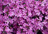 Erinus alpinus (Alpenbalsam), Blüten