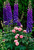Delphinium 'Black Knight' (Rittersporn, blau), Rosa (rosa Rose)