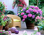 Schattenterrasse mit Hydrangea macrophylla / Hortensie