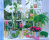Winterfenster mit Hippeastrum (weißer Amaryllis), Hyacinthus