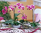 Phalaenopsis 'Petit Avenir' (Mini - Schmetterlingsorchidee)