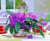 Brunfelsia pauciflora 'Macrantha' (Brunfelsie)