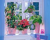 Begonia 'Tamaya' (Strauchbegonie), Begonia elatior