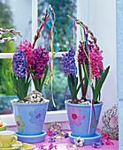 Hyacinthus (Hyazinthen) in hellblauen Töpfen mit Blüten