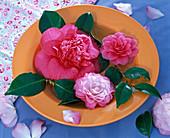 Blüten von Camellia (Kamelie) in orangem