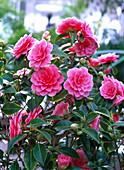 Camellia 'Mrs. Tingley' (Kamelie)