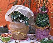 Rhododendron, Buxus (Buchspyramide) mit Winterschutz