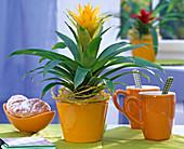 Gelbe Guzmania (Guzmanie), dekoriert mit Sisal und Dekoband