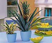 Ananas mit Frucht und 'Variegata' in hellblauen Übertöpfen