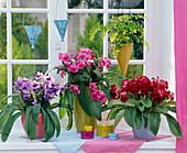 Streptocarpus (Drehfrucht) in rot, rosa, lila auf der Fensterbank