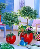 Ficus (Gummibaum) als Stämmchen, unterpflanzt mit Ficus pumila (Kletterfeige)
