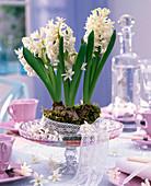 weiße Hyacinthus orientalis (Hyazinthen) mit Spitzenband eingefaßt