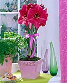 Hippeastrum 'Herkules'(Amaryllis, pink) in Reliefübertopf auf der Fensterbank
