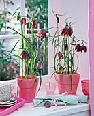 Fritillaria (Schachbrettblumen) in rosafarbenen Töpfen auf der Fensterbank