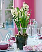 weiße Hyacinthus orientalis (Hyazinthen) in Glas mit Moos gepflanzt