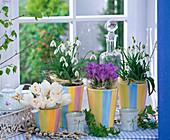 Galanthus (Schneeglöckchen), Crocus (Krokus, weiß und lila)