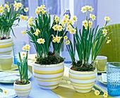 Narcissus 'Minnow' (Narzissen) in geringelten Übertöpfen auf dem Tisch