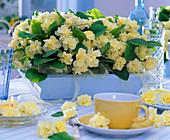 Primula Belarina 'Cream' (Primel, gefüllt) in Holzkasten, Blüten