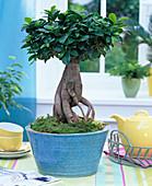 Ficus nitida 'Ginseng' (Gummibaum) als Bonsai in türkiser Schale