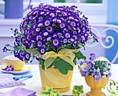 Blaue Senecio (Aschenblume) in gelbem Übertopf auf dem Tisch