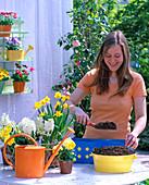 Blauen Kasten mit Narzissen, Hyazinthen und Viola bepflanzen: 1/4