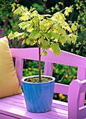 Acer shirawasanum 'Aureum' (Japanischer Goldahorn)
