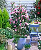 Camellia 'Spring Festival' (Kamelie) im blauen Keramiktopf